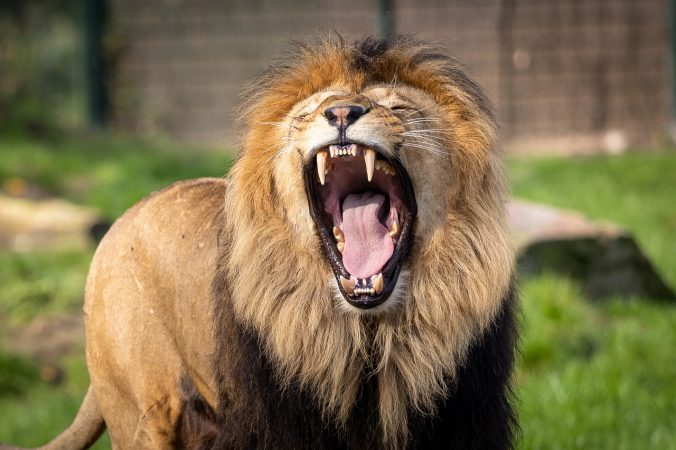lion, zoo, africa